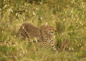 Oloti - bush cheetah