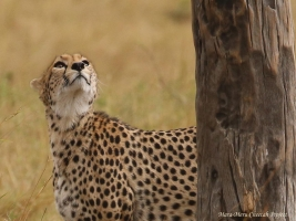 When approaching trees, cheetahs check them for a potential anger