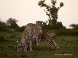 New cheetahs in the Reserve - Kiraposhe's cubs