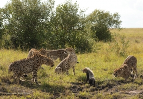 A cub hisses at the male