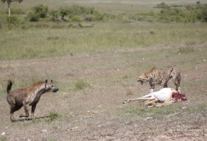 Hyena took a kill from Kisau