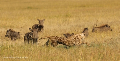 Kisaru's cub running away from the group of warthogs