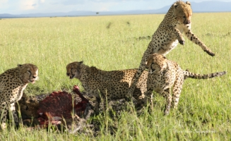 Olpadan (jumping) was eating next to Olonyok (right) when one of the males hissed to him