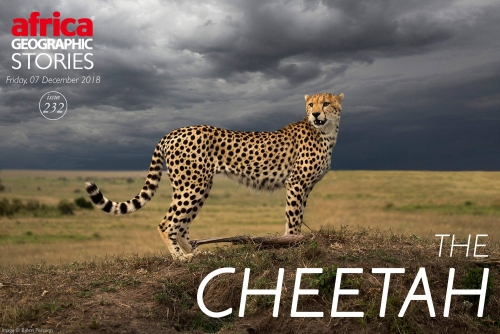 Article about cheetahs in Africa Geographic
