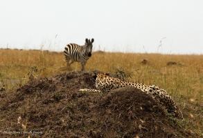 Zebra spotted Naserian