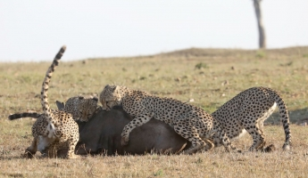 Cheetah Hunting Tactics