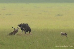 Mother wildebeest is saving the calf. Rani's cub on the right