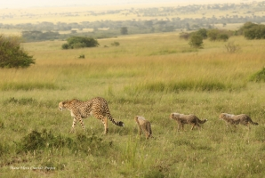 Neema with her cubs today