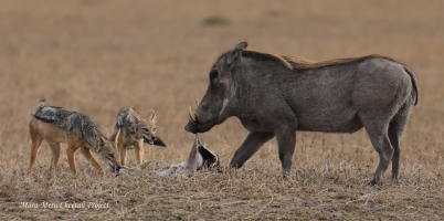 Warthog is eating leftover of Nora's kill