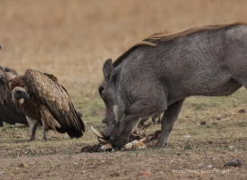 After chasing Nora from her kill, warthog is eating meat