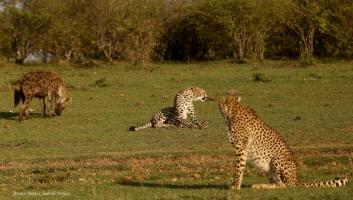 Cheetahs Kisaru, Busara and Hyena
