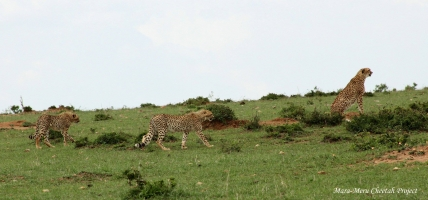 Malaika and cubs were active and played together before the mother went hunting