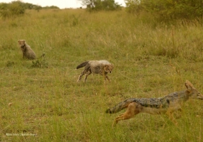 Cubs are chasing the jackal with full bellies