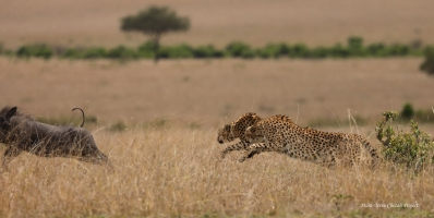 Tano Bora males chasing warthog