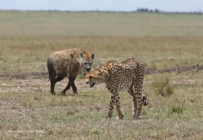 Amani calling for cubs. Hyena was following her for some time hoping that hungry cheetah will hunt