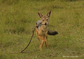 Frustrated jackal was carrying the branch after every attempt to approach the carcass