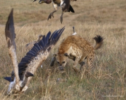 Hyena is protecting a kill
