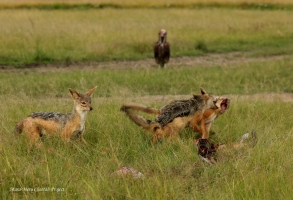 It's time now for jackals to compete for the food