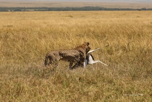 Looking for the proper protection from potential kleptoparasites, Kweli is taking a kill to the nearest bush