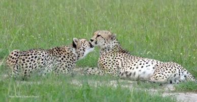 Olonyok (left) is grooming Olpadan after feeding