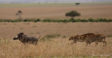 Tano Bora chasing warthog
