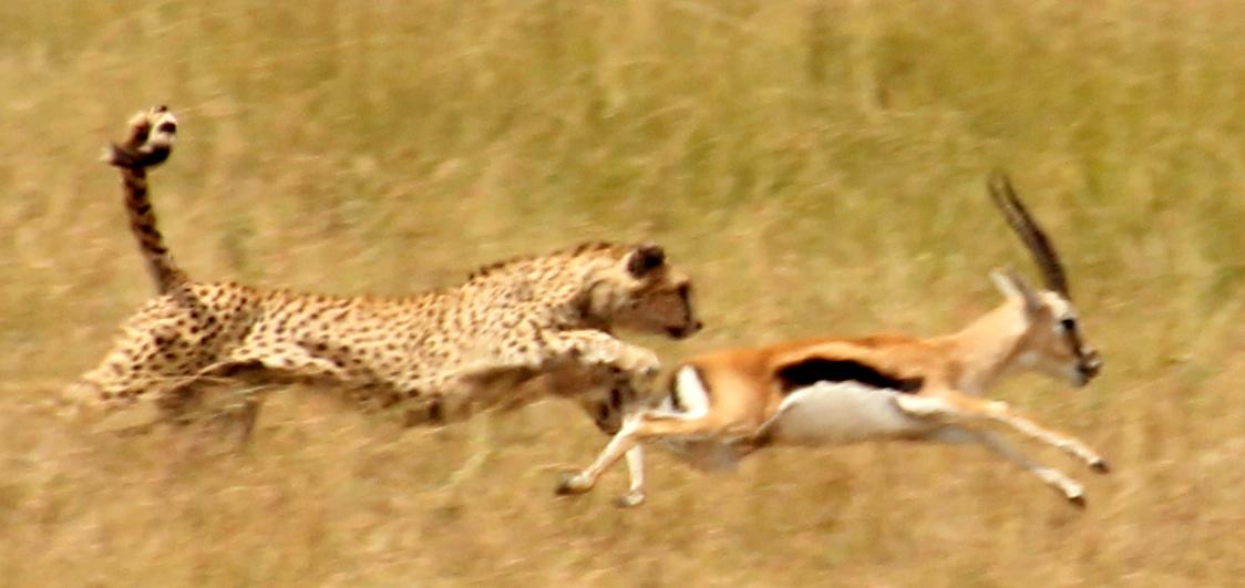 What Do Jaguars Eat >> Cheetah Stories – Mara Meru Cheetah Project