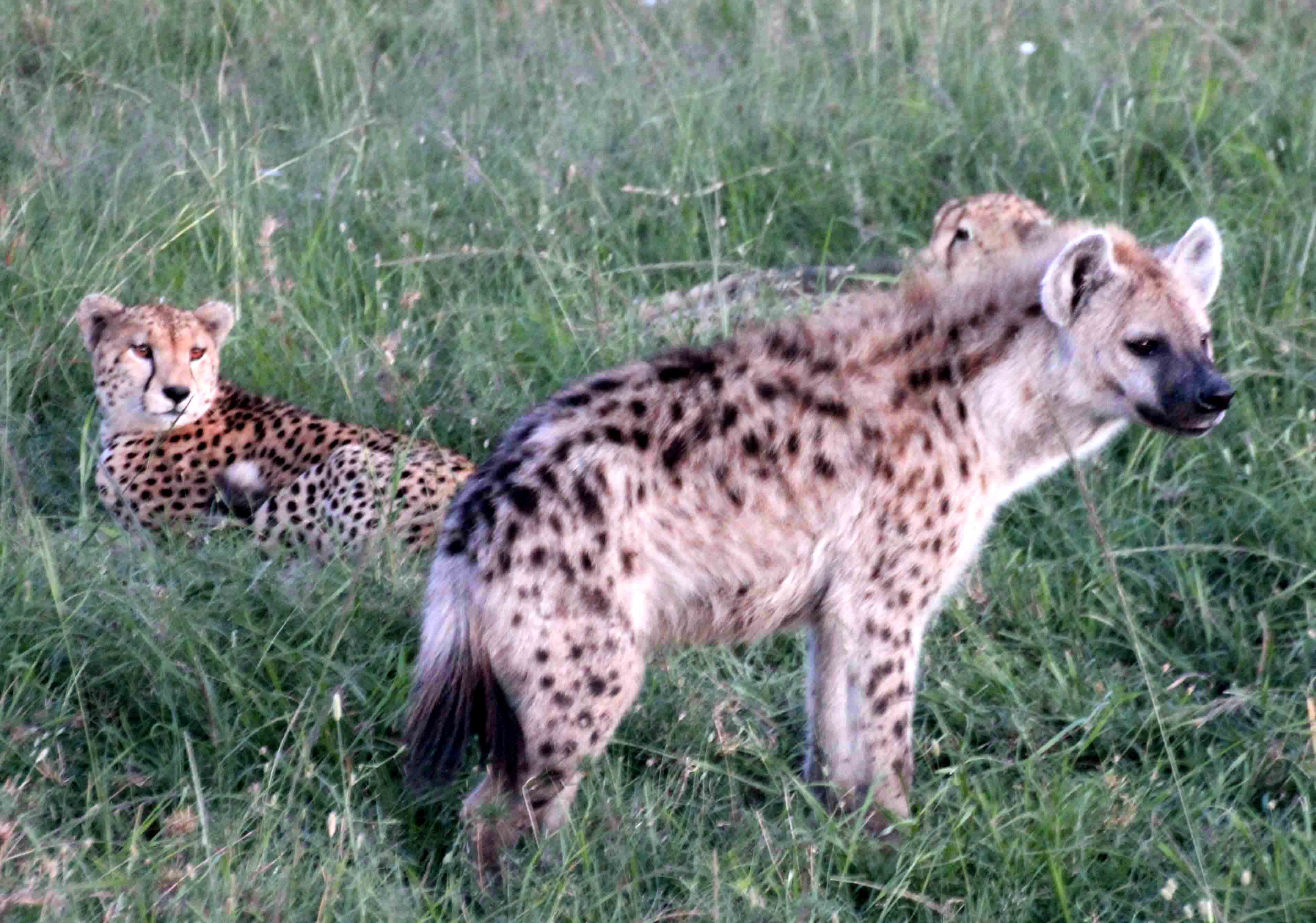 Cheetah Stories – Mara Meru Cheetah Project